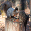 Squirrel — Stock Photo #13651326