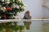 Małpa w regionie basenu — Zdjęcie stockowe