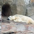 Polar bear in a zoo — Stock Photo #28925769