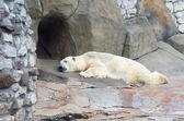 动物园北极熊 — 图库照片