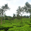 Tea estate — Stock Photo