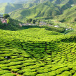 Royalty-Free Stock Photo: Malaysia, Cameron Highlands, Tea plantation