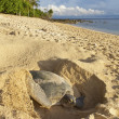 Green turtle laying her eggs on the beach - Stock Photo
