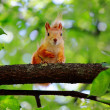Stock Photo: Little squirrel.