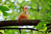 Little squirrel. — Стоковое фото