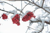 Grapes of rowan under the snow. — Stock Photo