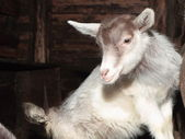 Young goat in the barn. — Stock Photo