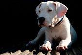 道後アルヘンティーノ子犬 — ストック写真