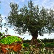 Olive tree with basket of olives — Stock Photo #14977385