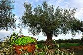 Oliveiras com uma cesta de azeitonas — Fotografia Stock