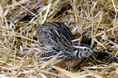 Chinese quail — Stock Photo
