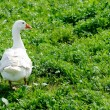 Domestic goose on a meadow — Stock Photo