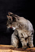 Young angry cat growls — Stock Photo