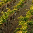 Vineyard rows — Stock Photo #36592301