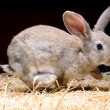 Jumping Rabbit surprised — Stock Photo