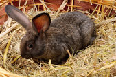 Black young rabbit — Stock Photo