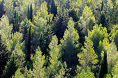 View of a pine forest — Stock Photo