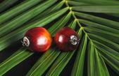 Fruta de la palma de aceite — Foto de Stock