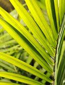 Oil Palm Leaf — Stock Photo