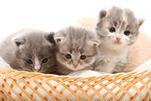 Little kittens in the wicker — Stock Photo