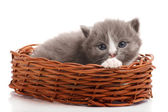 Little gray kitten in the wicker on white background — Stock Photo
