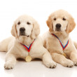 Puppies of golden retriever — Stok fotoğraf