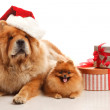 christmas dogs — Stock Photo
