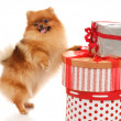 Pomeranian Spitz — Stock Photo