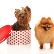Yorkshire terrier and Pomeranian Spitz — Stock Photo #29639131