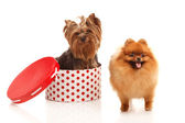 Yorkshire terrier and Pomeranian Spitz — Stock Photo