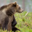 Brown bear sitting in the woods — Stock Photo