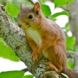 Постер, плакат: Red squirrel Sciurus vulgaris