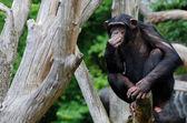 Chimpanzee chewing grass — Stock Photo
