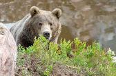 Brown bear hiding — Stock Photo