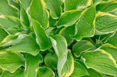 Curled plantain lily (Hosta crispula) — Stock Photo