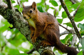 Red squirrel (Sciurus vulgaris) — Stock Photo