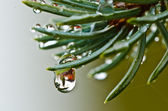 Water drop on spruce — Stock Photo