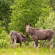 Moose cow with calf — Stock Photo