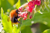 Bumble bee on flower — Stock Photo