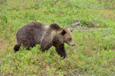 Bear in bilberry bushes — Stock Photo
