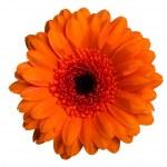 Marigold flower — Stock Photo #19099721