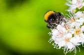 Bumble bee in June — Stock Photo