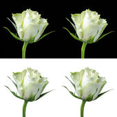 Collage of a white rose — Stock Photo