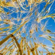 Barley field  — Stock Photo