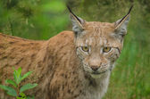 Lynx hunting — Stock Photo
