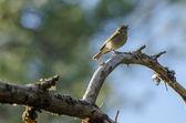 Chiffchaff (Phylloscopus collybita) bird — Foto Stock