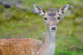 Fallow deer doe — Stock Photo