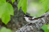 Pied Flycatcher (Ficedula hypoleuca) bird — Stockfoto