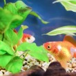 Gold fish kissing — Stock Video