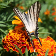 Swallowtail butterfly on an orange flower — Stock Photo #13765171